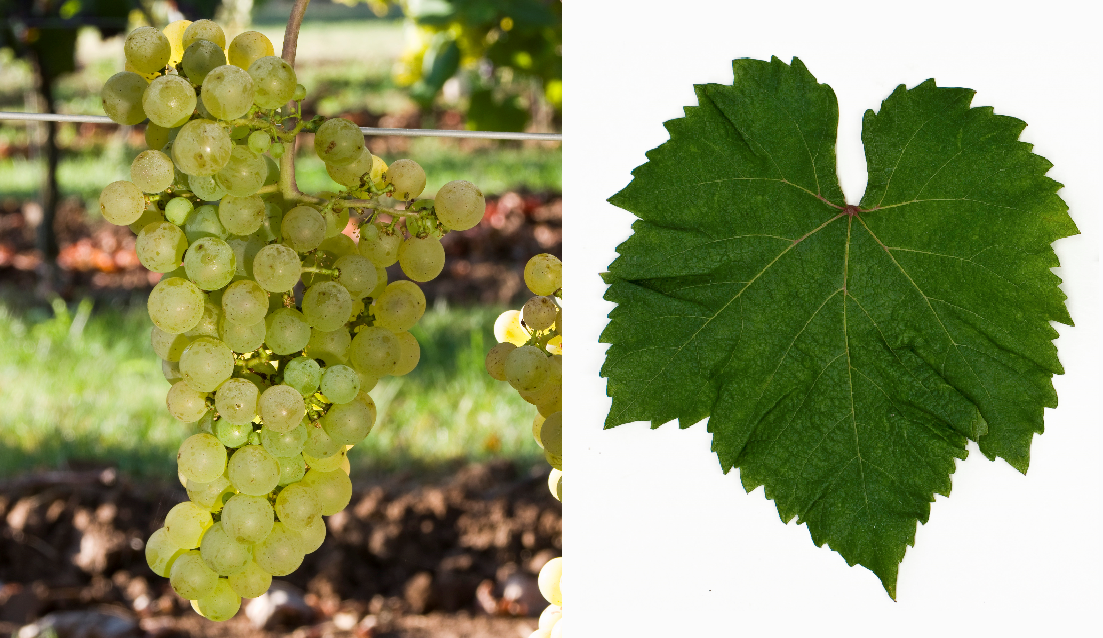 Muscadelle - bunch of grapes and leaf
