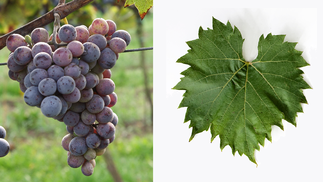 Subereux - grape and leaf