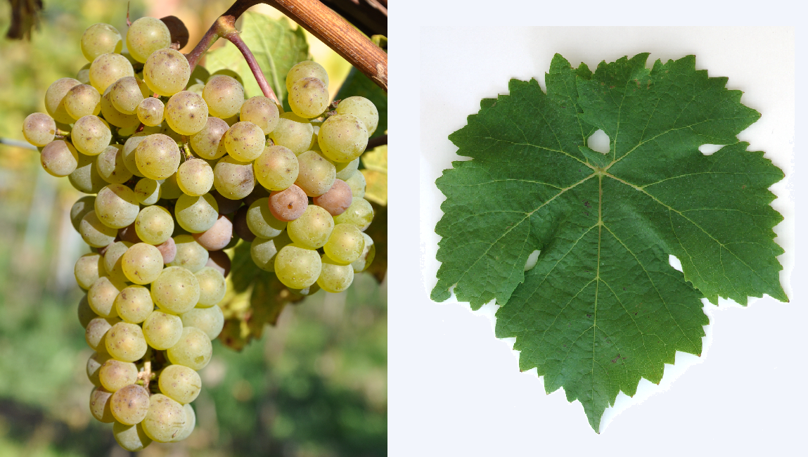 Hölder - grapes and leaf