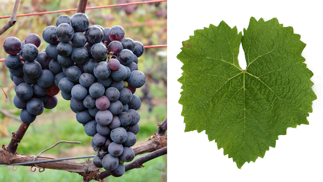 Prior - Grape and leaf