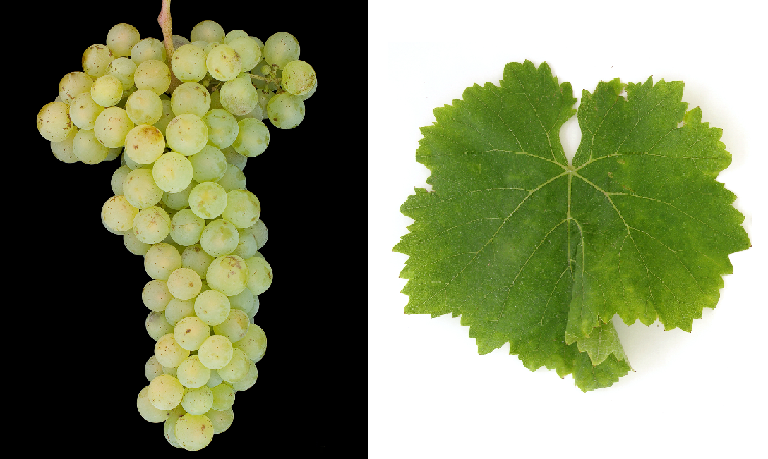 Huxelrebe - grape and leaf