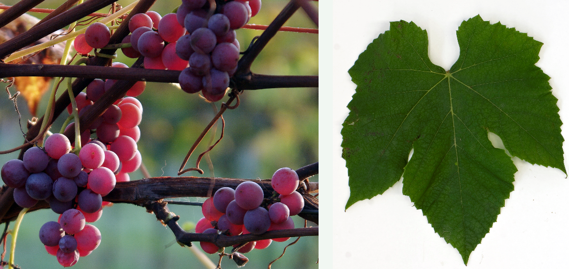 Delaware - grape and leaf