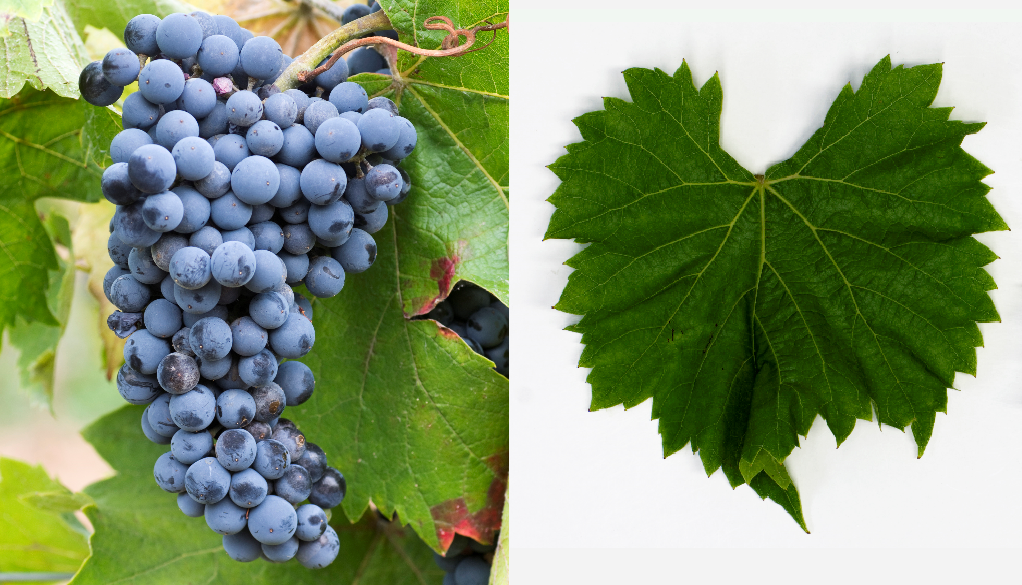 Solara - bunch of grapes and leaf