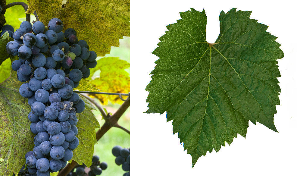 Triomphe d'Alsace - grape and leaf