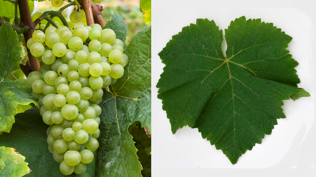 Pinot Blanc - grape and leaf