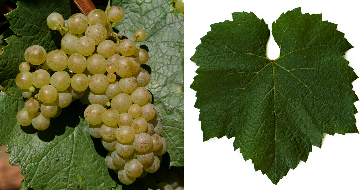 Chardonnay - grape and leaf
