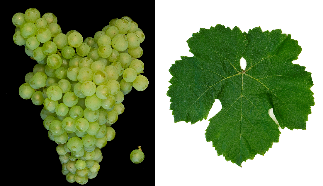Jurançon Blanc - grape and leaf