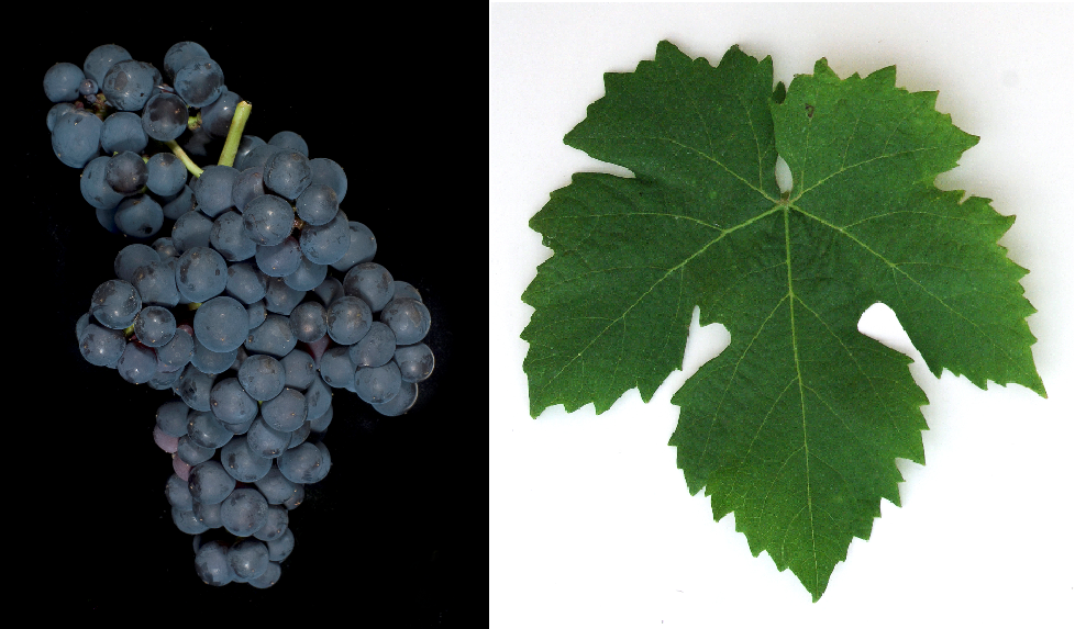 Tressot Noir - grape and leaf
