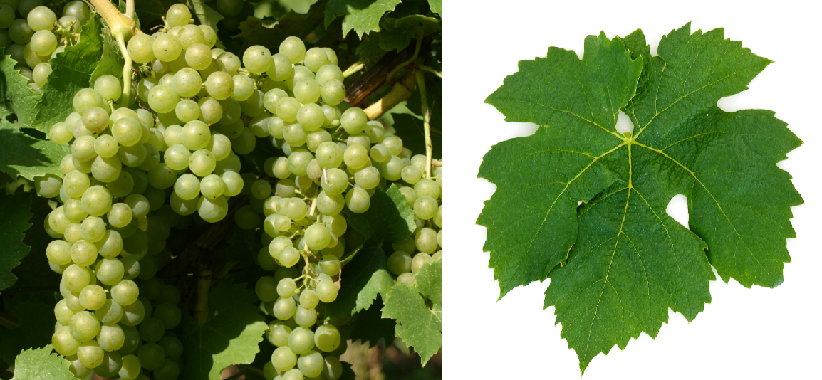 Müller-Thurgau - grape and leaf