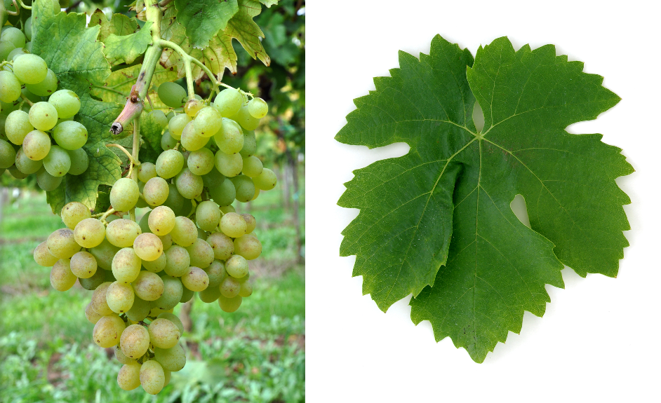 Inzolia - grape and leaf