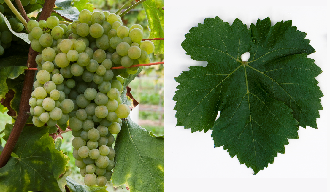 Verdiccio Bianco - grape and leaf