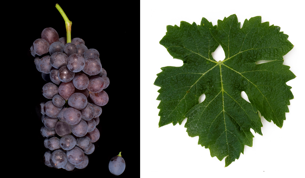 Corvina Veronese - grape and leaf