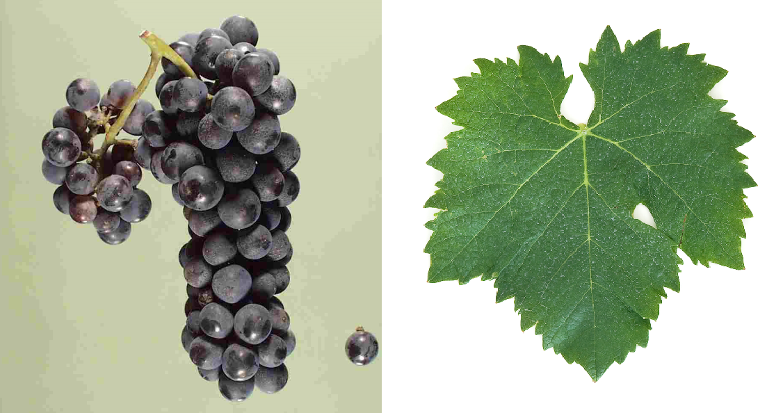 Cornalin - grape and leaf