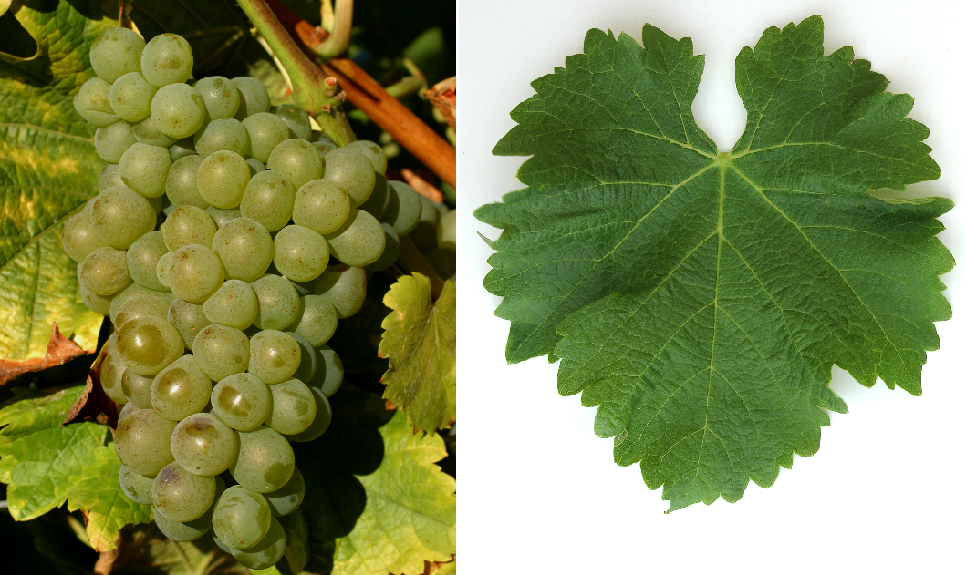 Sauvignon Blanc - grape and leaf