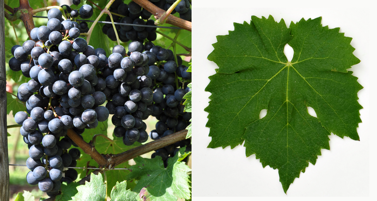 Lagrein - grape and leaf