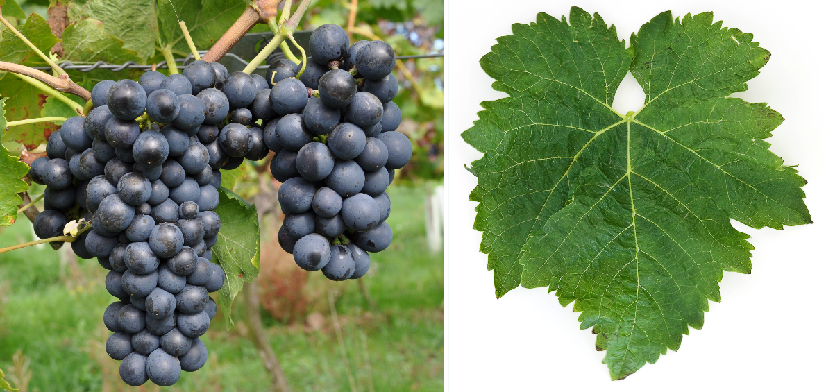 Syrah - grape and leaf