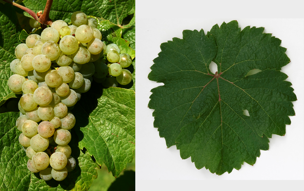 Riesling - grape and leaf