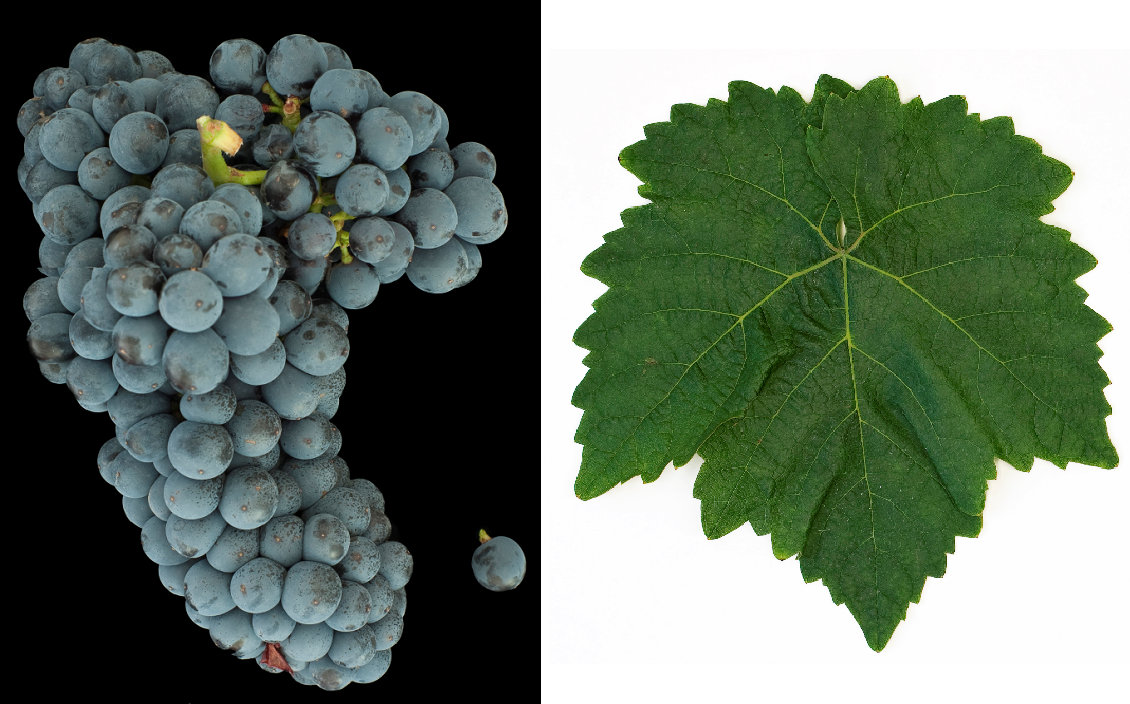 Hegel - grape and leaf