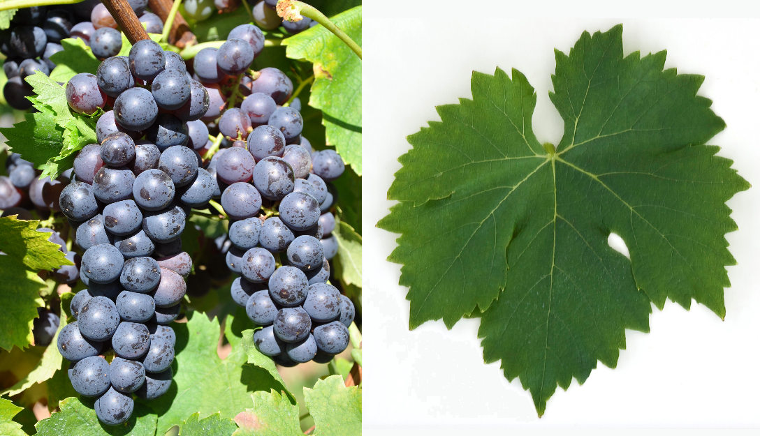 Ingram's Muscat - grape and leaf