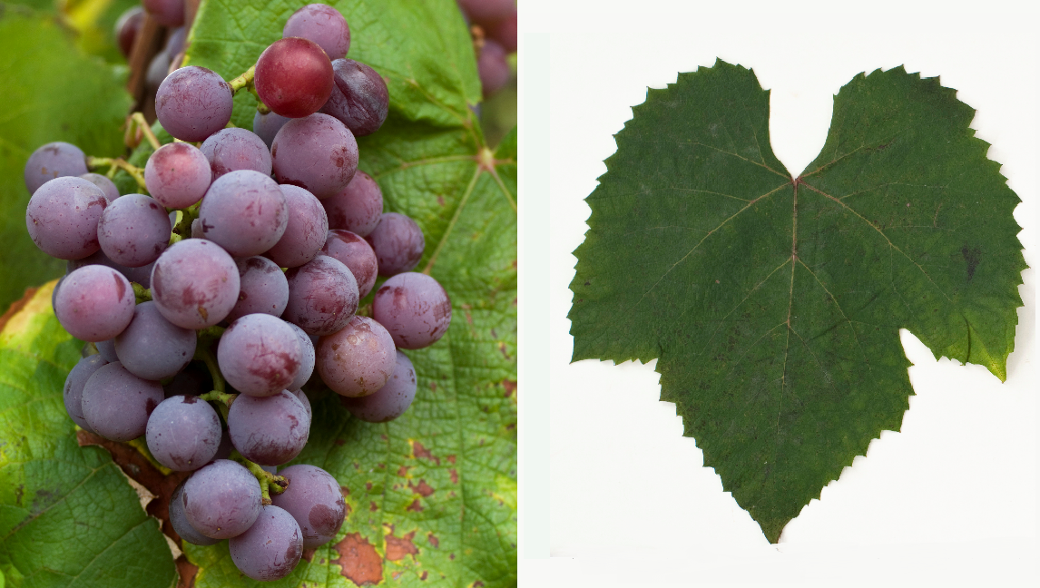 Catawba - grape and leaf