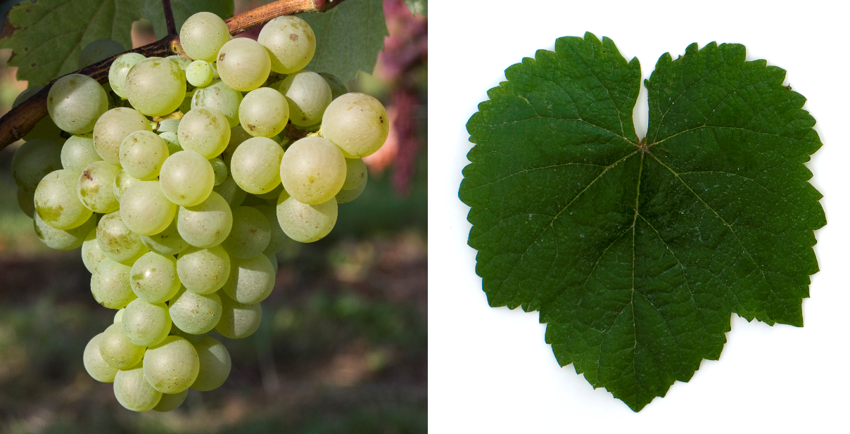 Rauschschling - grape and leaf