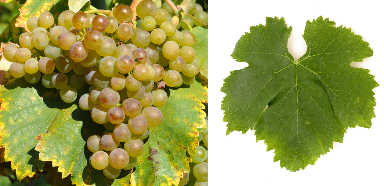 Fiano - grape and leaf