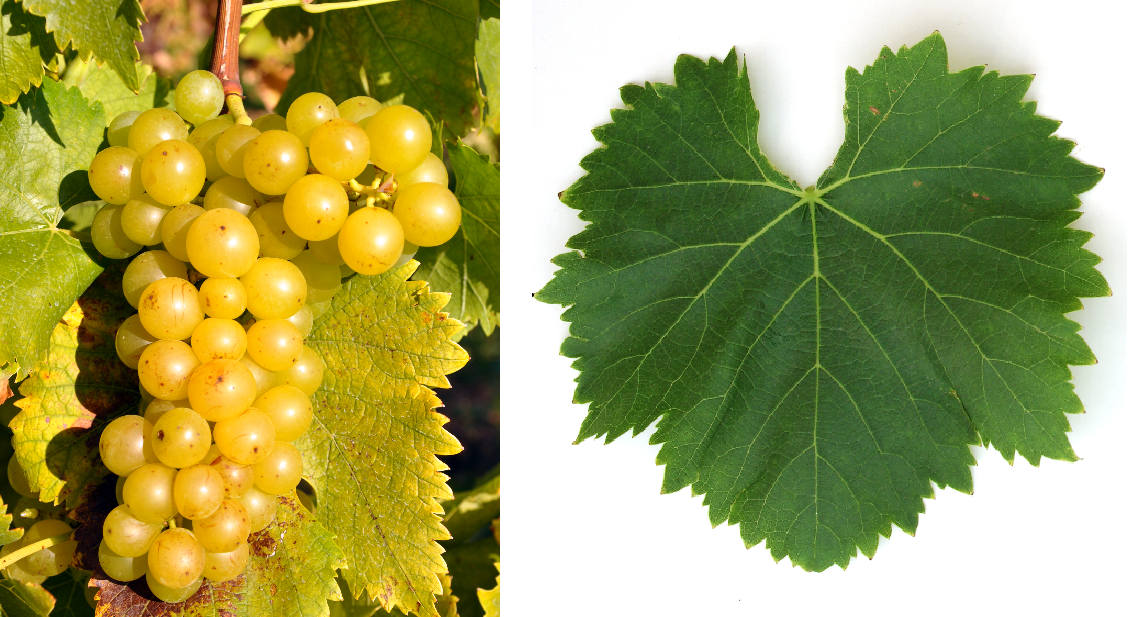 Gold Muskateller (Moscato Giallo) - grape and leaf