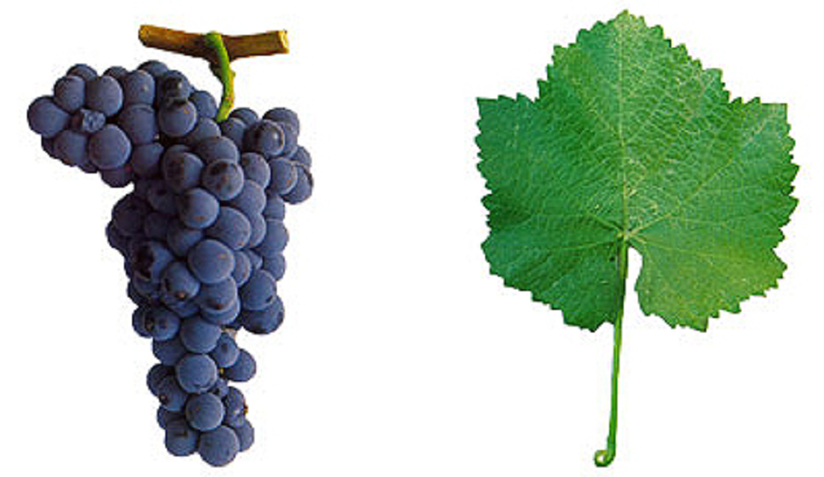 Alfrocheiro - grape and leaf