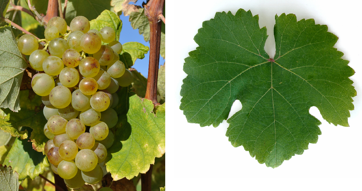 Ezerjó - grape and leaf