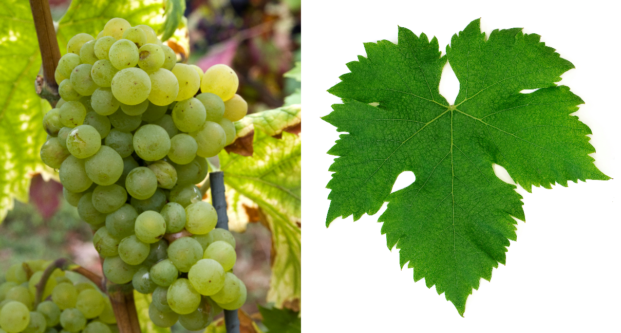 Juhfark - grape and leaf
