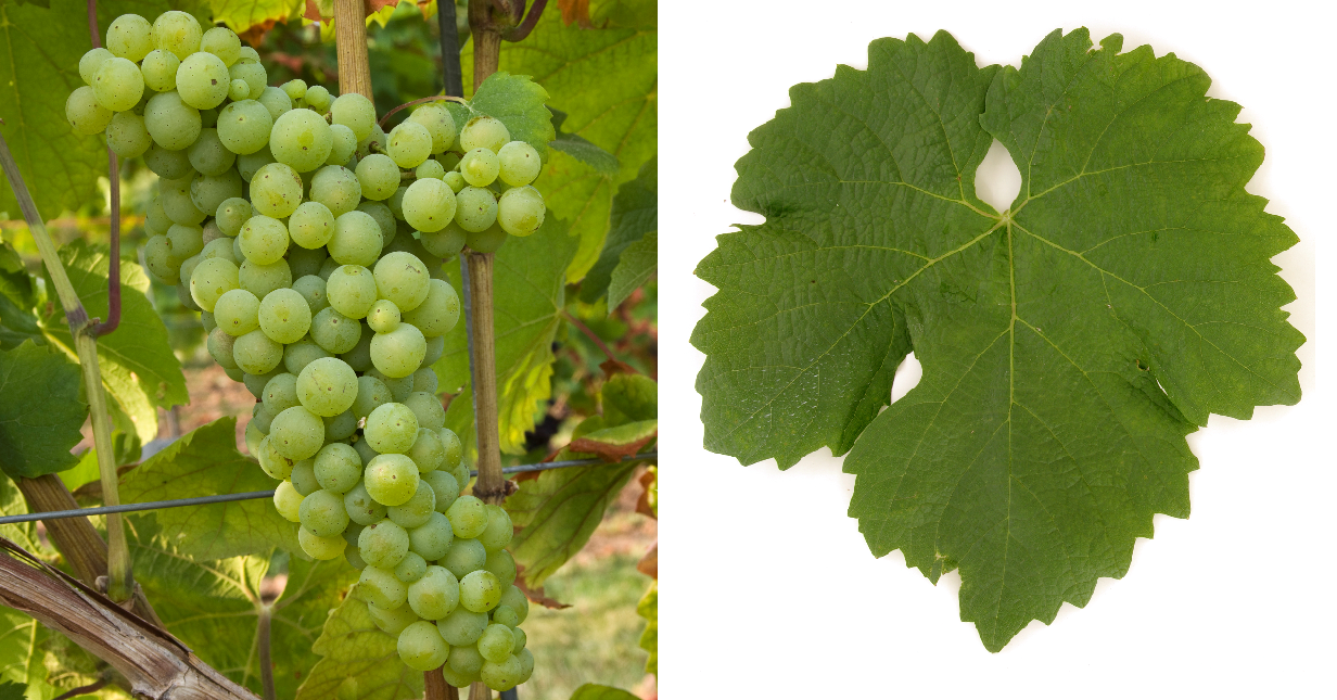 Mustoasă de Măderat - grape and leaf