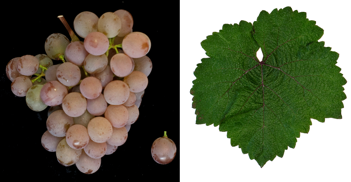 Jubileum 75 - grape and leaf
