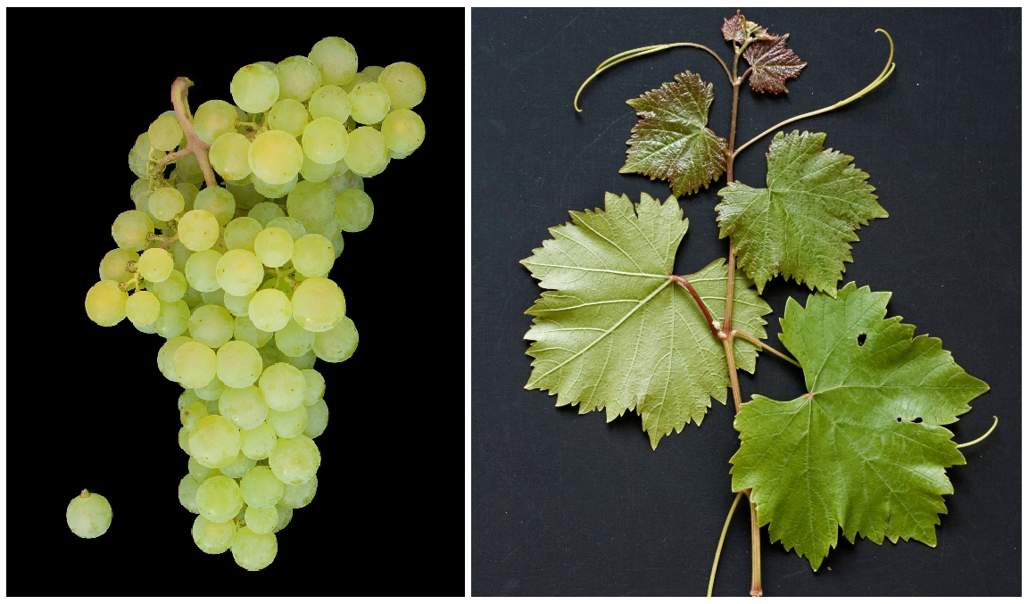 Mátrai Muskotály - grape and leaf
