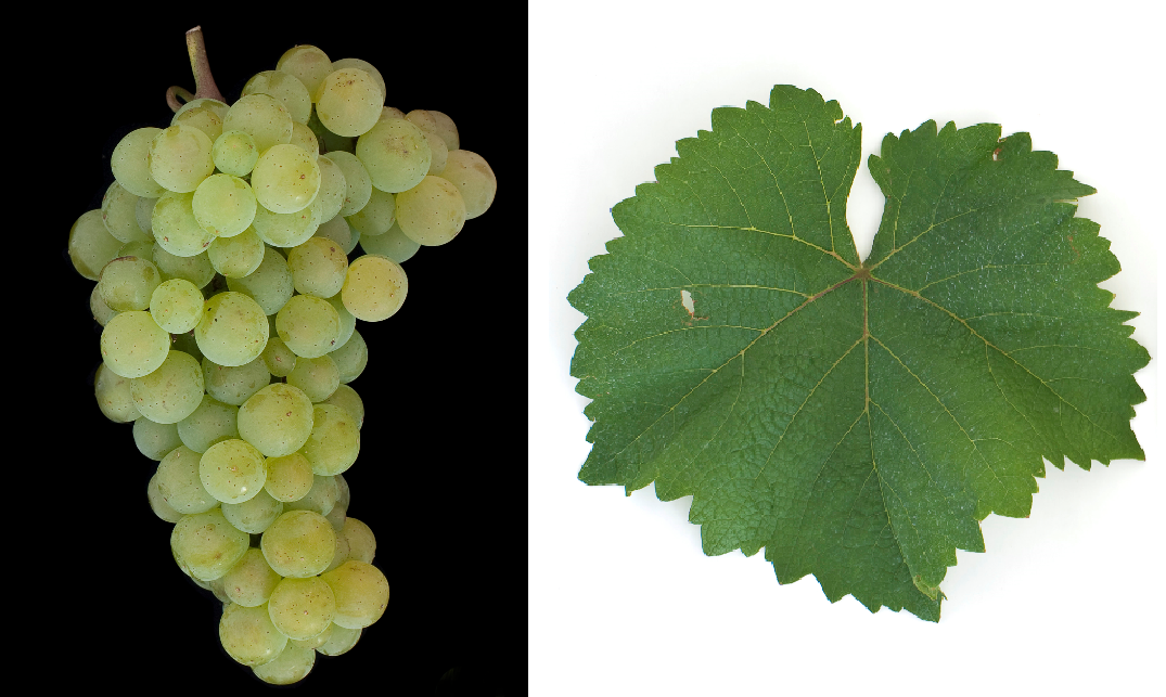 Karát - grape and leaf