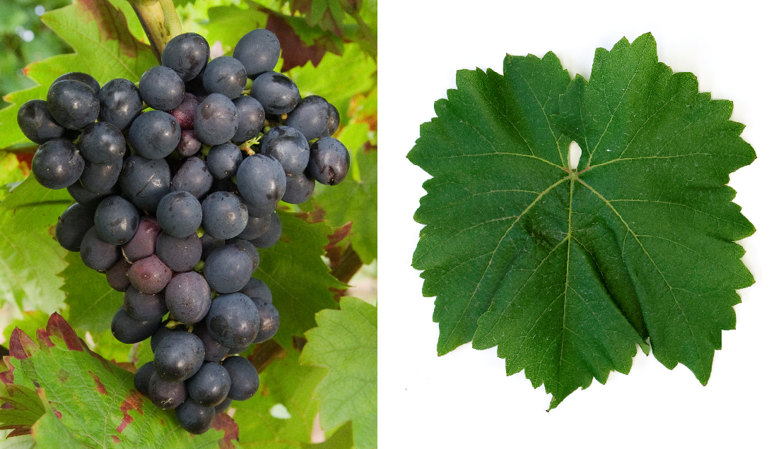 Esther - grape and leaf