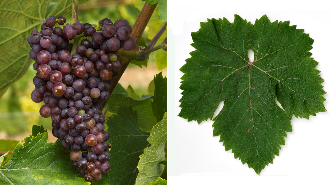 Korinthiaki - grape and leaf