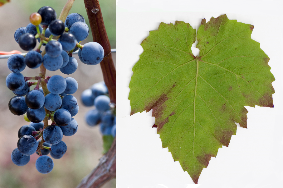 Pannon Frankos - grape and leaf