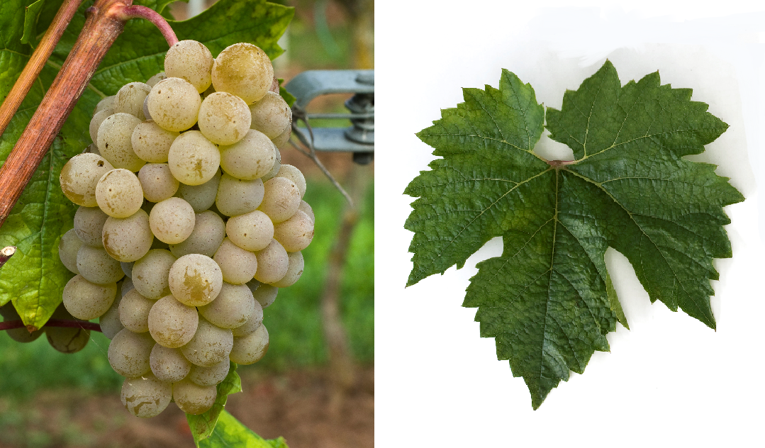 Krisztaly - grape and leaf