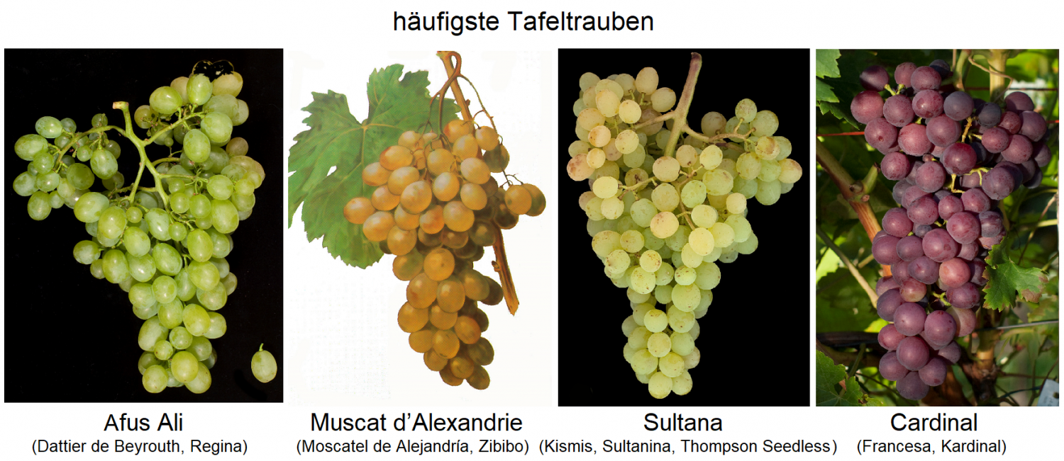 Grape varieties - four most common table grapes - Afus Ali, Muscat d'Alexandrie, Sultana, Cardinal