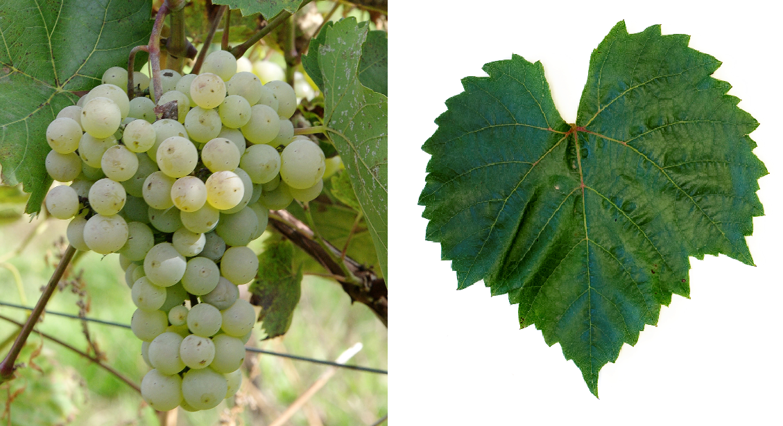Soleil Blanc - grape and leaf