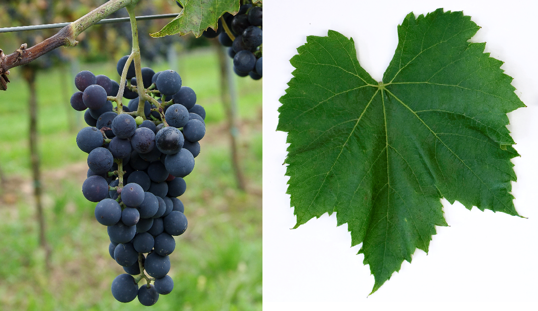 Aramon du Gard - grape and leaf