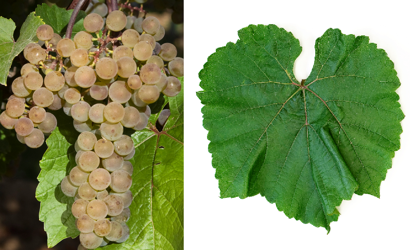 L'Acadie Blanc - grape and leaf