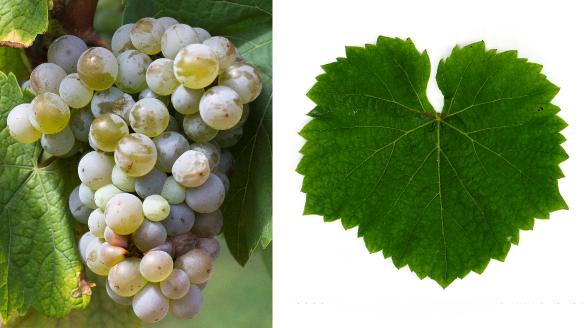 Glorie de Seibel - Grape and leaf