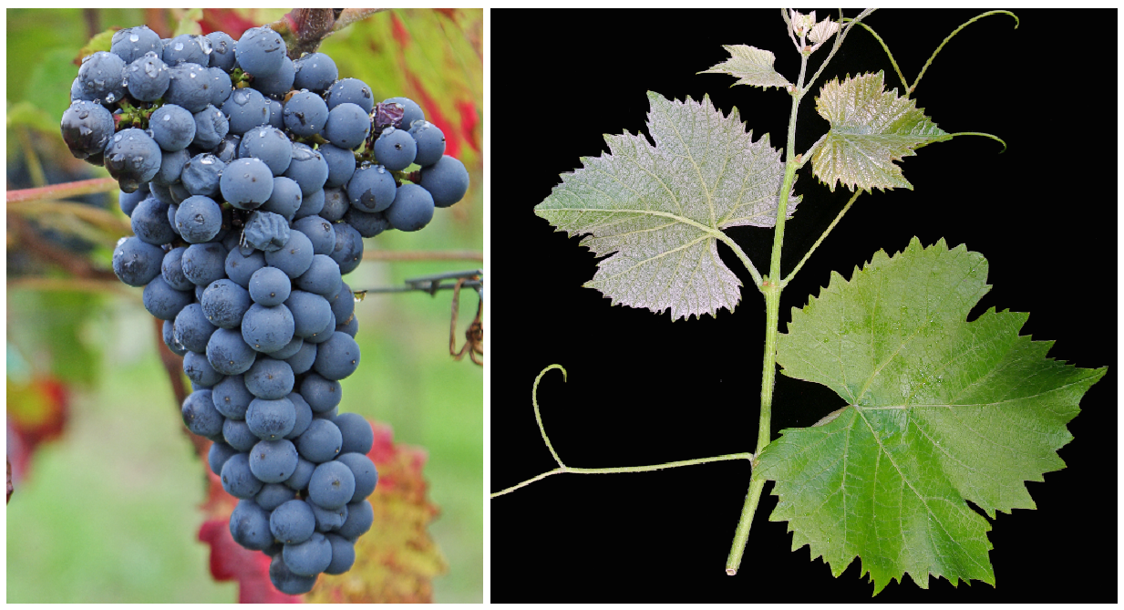 Plantet - grape and leaf