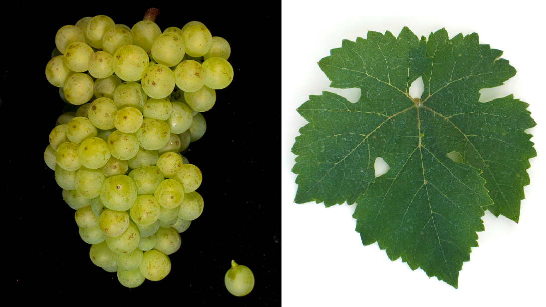 Golriesling (Alsace) - grape and leaf