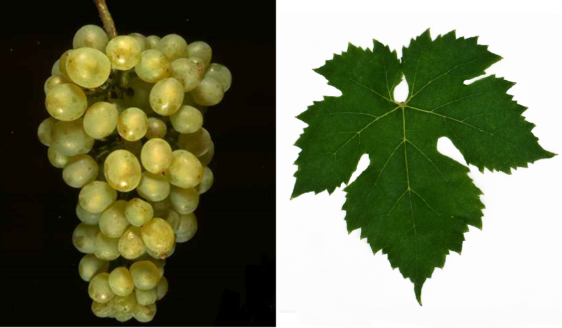 Précoce de Malingre - grape and leaf