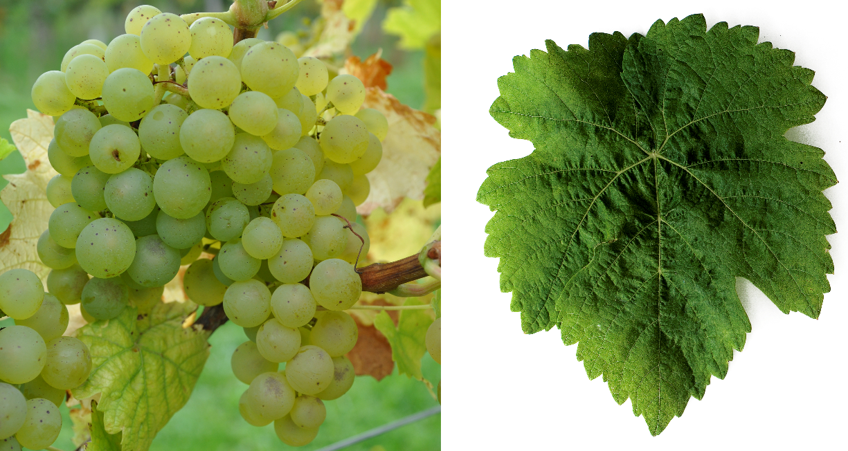 Bouquet vine - bunch of grapes and leaf