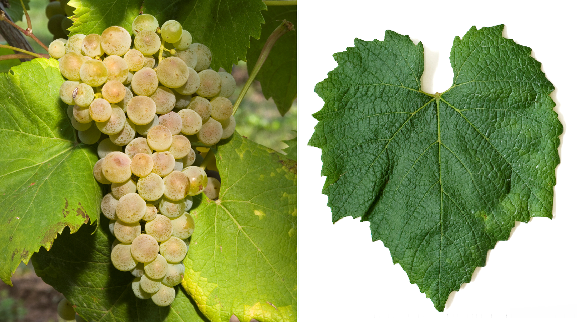 Sibera - grape and leaf