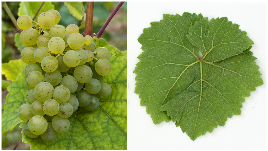Sissi - grape and leaf