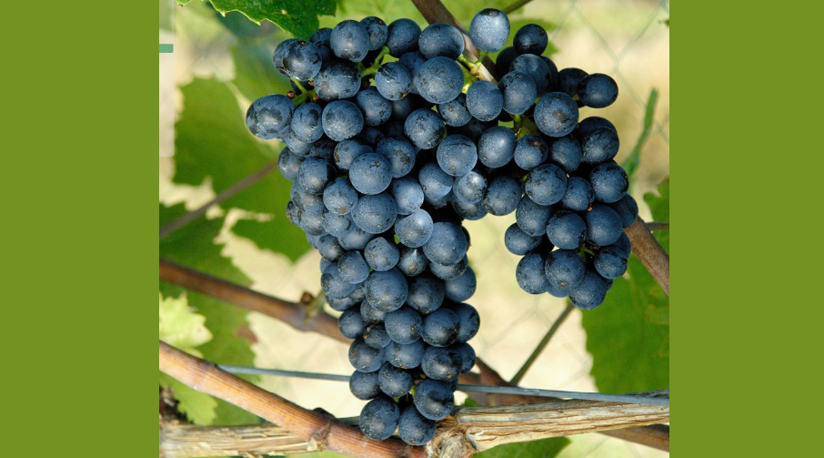 Mara - grape